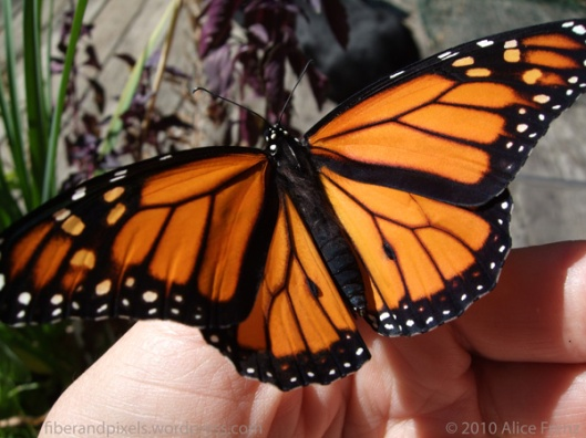 alice-frenz-newly-emerged-monarch-aug-27-2010-fiberandpixels