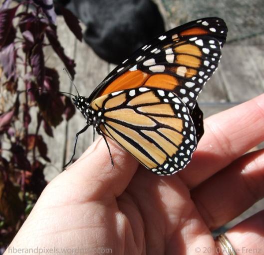 monarch-on-my-thumb-aug-27-2010-alice-frenz-fiberandpixels